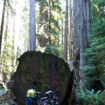 un séquoia tombé à terre reste impressionant