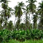 culture de bananiers et cocotiers en mélange