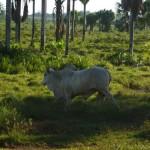 Une des causes de la régression des forêts primaires: l'élevage