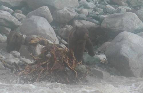 grizzly tentant de traverser les flots en furie